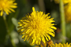 Denti di leone gialli in primavera Fotografia Stock Libera da Diritti