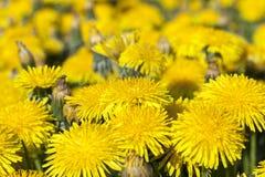 Denti di leone gialli in primavera Fotografia Stock