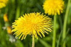 Denti di leone gialli in primavera Immagine Stock Libera da Diritti