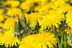 Denti di leone gialli in primavera Immagine Stock