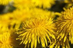 Denti di leone gialli in primavera Fotografie Stock