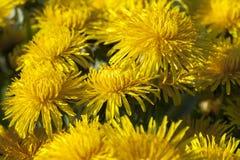 Denti di leone gialli in primavera Immagini Stock Libere da Diritti