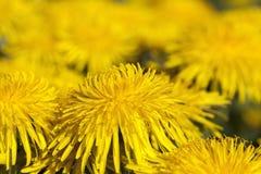 Denti di leone gialli in primavera Immagini Stock