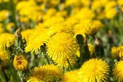 Denti di leone gialli in primavera Fotografie Stock Libere da Diritti