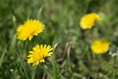 Denti di leone gialli su erba verde immagine stock libera da diritti