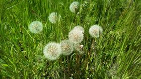 Denti di leone lanuginosi con gli ombrelli bianchi aerati fra erba verde fotografie stock libere da diritti