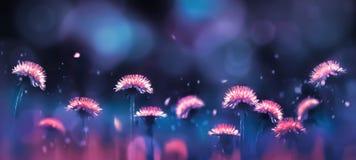 Denti di leone rosa luminosi stupefacenti favolosi su un fondo blu e porpora nei raggi di luce Fondo di estate fotografie stock libere da diritti