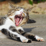 Denti di sbadiglio del gatto Fotografia Stock