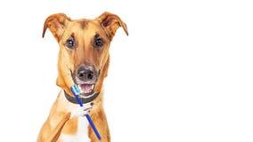 Denti di spazzolatura del cane divertente fotografie stock libere da diritti