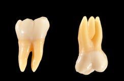 Denti molari isolati sul nero Fotografia Stock Libera da Diritti