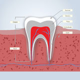 Denti o illustrazione dentaria Fotografia Stock Libera da Diritti