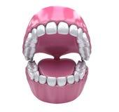 Denti permanenti, dentatura adulta Fotografie Stock