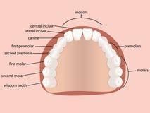 denti umani Fotografia Stock Libera da Diritti