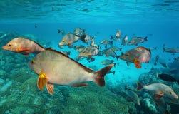 Dentice a dorso d'asino del banco di pesci dell'oceano Pacifico Fotografie Stock Libere da Diritti