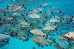 Dentice a dorso d'asino del banco di pesci subacqueo del mare Fotografie Stock Libere da Diritti