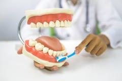 Dentist demonstrate  to clean teeth. Dentist with dental model demonstrate  to clean teeth Stock Photos