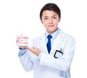 Dentist with denture Royalty Free Stock Image