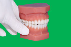 Dentist hand show model of teeth Stock Images