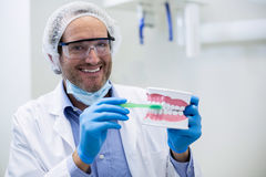 Dentist holding a mouth model and tooth brush Royalty Free Stock Photos