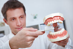 Dentist holding teeth model Stock Image