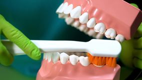 Dentist showing how to clean teeth with jaw model and toothbrush, dental care. Stock photo royalty free stock image