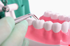 Dentist shows a model for healthy teeth Royalty Free Stock Photography