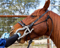 Dentista do cavalo fotos de stock