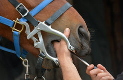 Dentiste de cheval au travail Photo stock