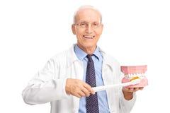 Dentiste mûr tenant la grande brosse à dents et un dentier images libres de droits