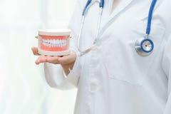 Dentiste ou docteur montrant le modèle de dent sur des mains - concept de santé Images stock
