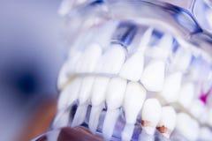 Dentists dental teeth model Royalty Free Stock Image