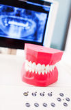 Dentists model of human teeth Royalty Free Stock Image