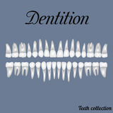 Dentition. Teeth - incisor, canine, premolar, molar upper and lower jaw. Vector illustration for print or design of the dental clinic Royalty Free Stock Images