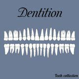 Dentition. Teeth - incisor, canine, premolar, molar upper and lower jaw. Vector illustration for print or design of the dental clinic Stock Images