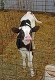 Dentizione del vitello immagine stock