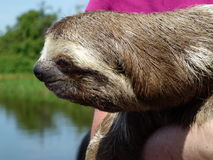 dentoed sengångaren poserar på Amazonet River av Brasilien arkivfoton