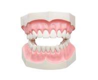 Dentoform, οδοντικό πρότυπο δοντιών Στοκ Εικόνα
