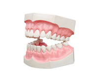 Dentoform, οδοντικό πρότυπο δοντιών Στοκ Φωτογραφία