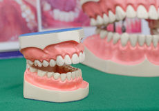 Dentoform, οδοντικό πρότυπο δοντιών Στοκ φωτογραφίες με δικαίωμα ελεύθερης χρήσης