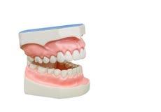 Dentoform, οδοντικό πρότυπο δοντιών Στοκ Εικόνες