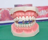Dentoform, Dental teeth model Stock Photos