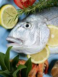 Denton, Mediterranean sparus fish Royalty Free Stock Images