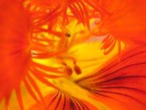 Dentro da flor Fotografia de Stock Royalty Free