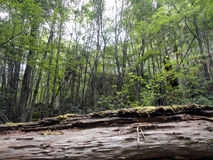 Dentro da floresta Foto de Stock Royalty Free