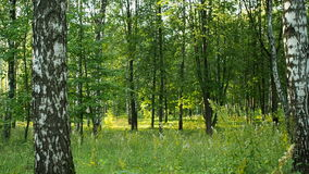 Dentro da floresta misturada, por do sol, zona de clima continental temperada da terra vídeos de arquivo