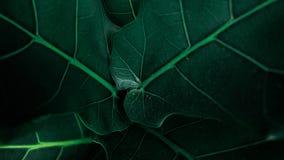 Dentro da folha verde no jardim com muitas veias imagem de stock