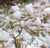 Dentro de la nieve Umbel fotos de archivo libres de regalías