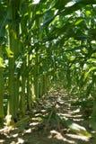 Dentro de las filas del tallo del maíz Imagenes de archivo