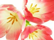 Dentro de tulipanes rojos Foto de archivo