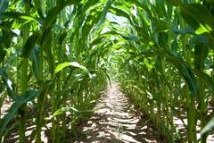 Dentro de um campo de milho Imagens de Stock Royalty Free